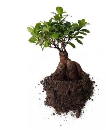 ficus microcarpa bonsai. ecosystems for your home and office.